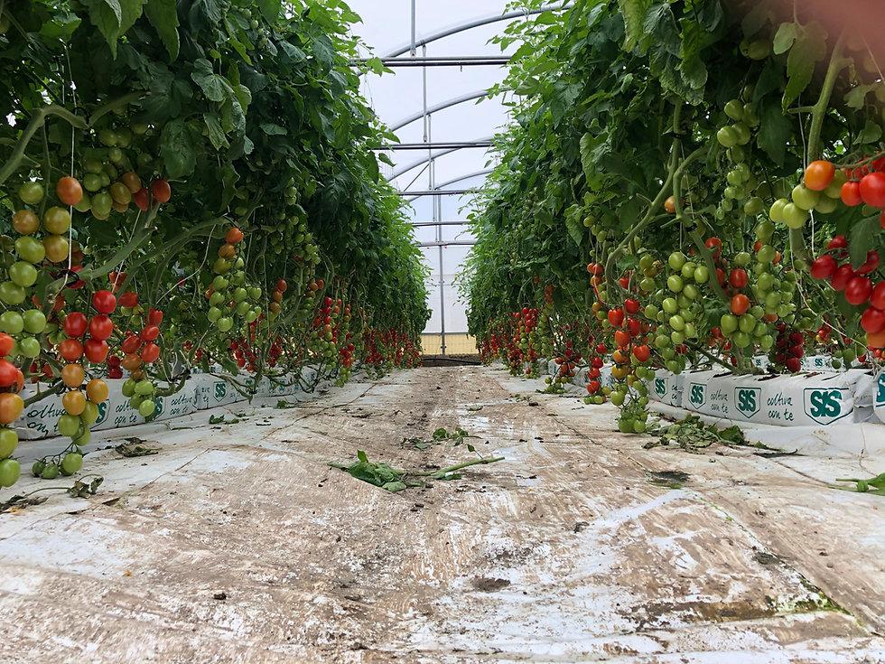 coltivazione DemetraGold Datterino