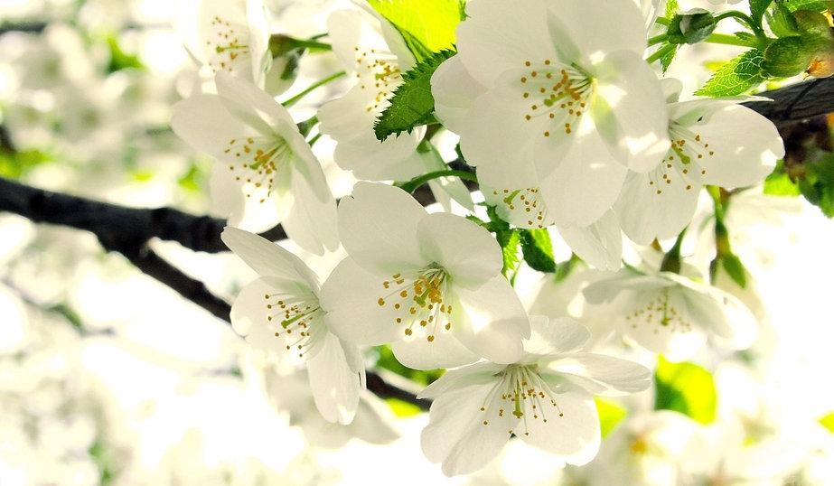 565704-white-flower-wallpaper-1920x1080-