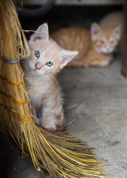 Barn Kitten
