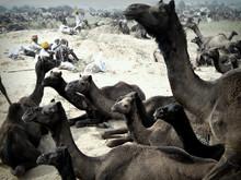 La Fiera dei Cammelli di Pushkar