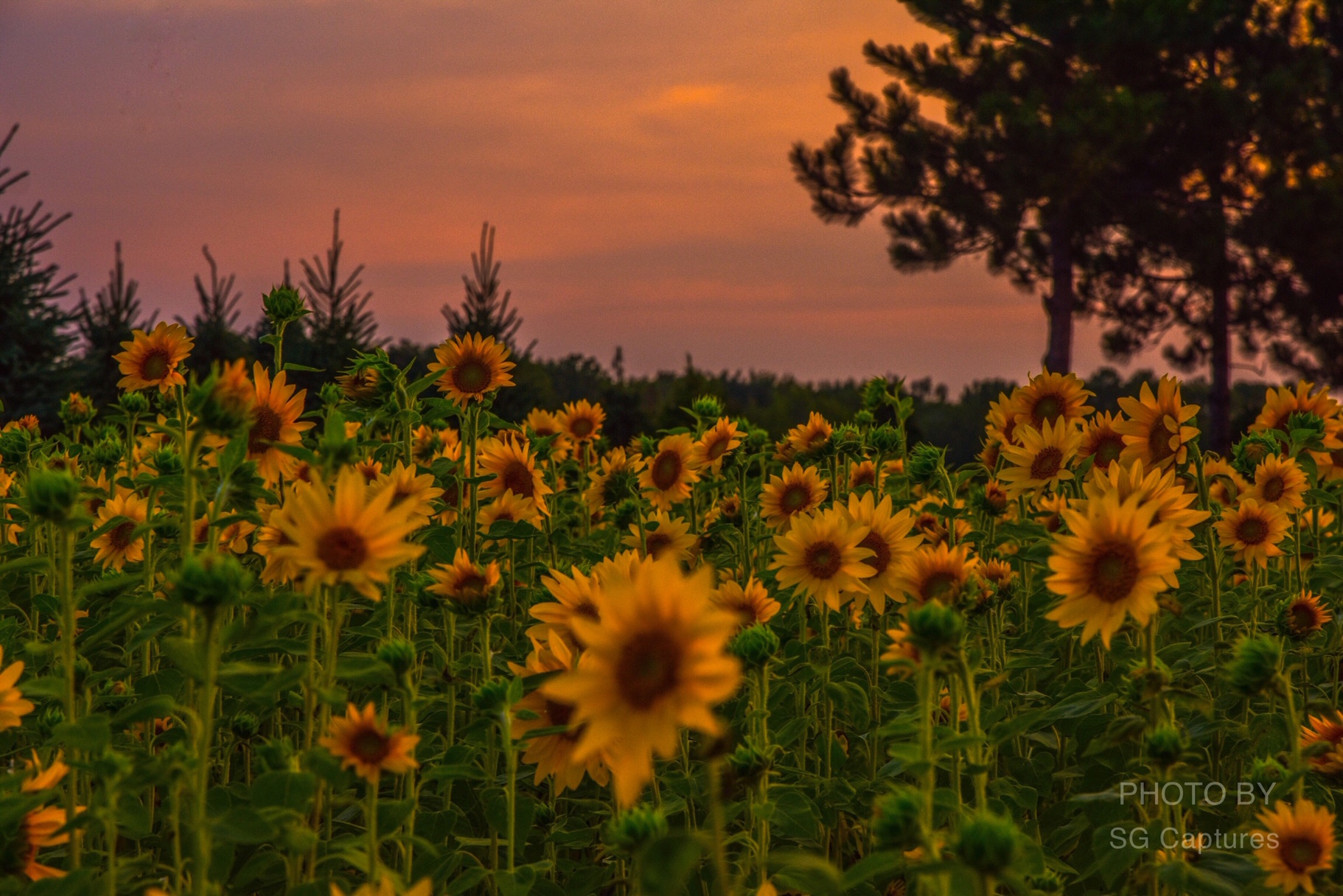 Bountiful Sunflowers