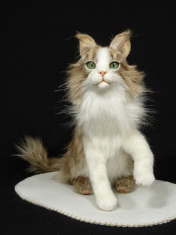 Maine coon kitten PEANUT