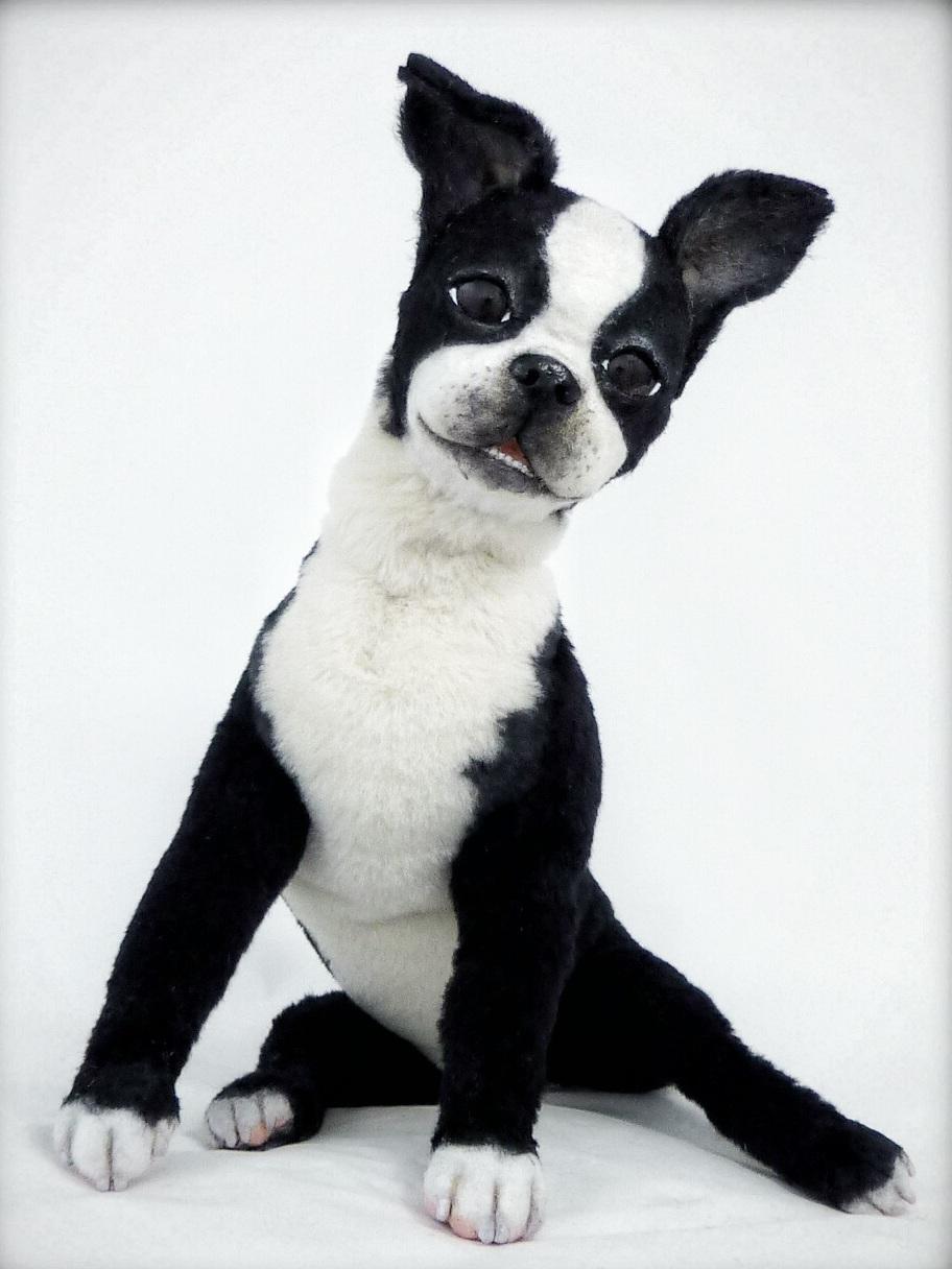 Boston terrier Puppy BUDDY