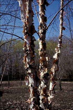 Northern Tribute River Birch