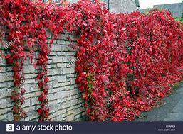 Red Wall Virginia Creeper
