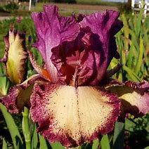 Rock Star Bearded Iris