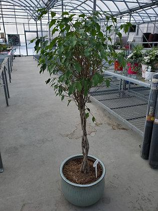 Ficus Benjamina Braid (Weeping Fig)