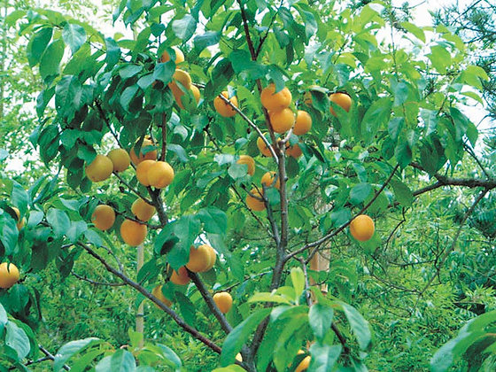 Manchurian Strain Apricot