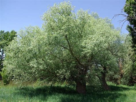 Silky White Willow