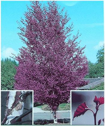 Royal Frost Hybrid Birch