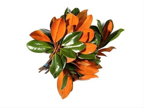 Magnolia Tips