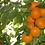Thumbnail: Baker's Gold/Manchurian Strain Apricot Combo