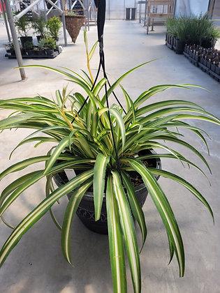 """Ocean"" Spider Plant"