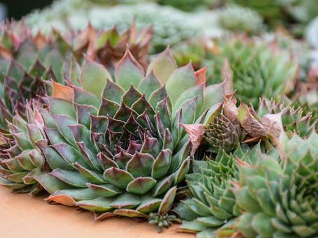 The Benefits of Succulents in Your Garden