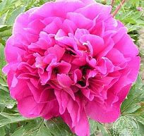 Belle Toulousaine Itoh Peony