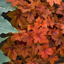Pumpkin Spice Coral Bells