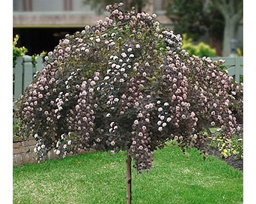 Summer Wine Ninebark Treeform