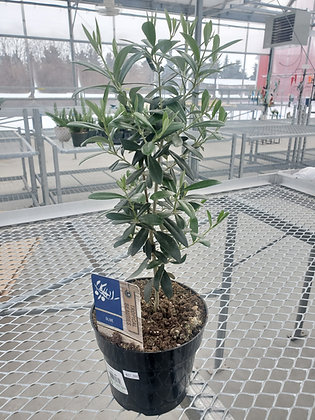 European Olive/Standard