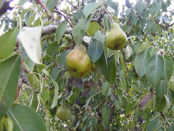 Paul Pear Tree