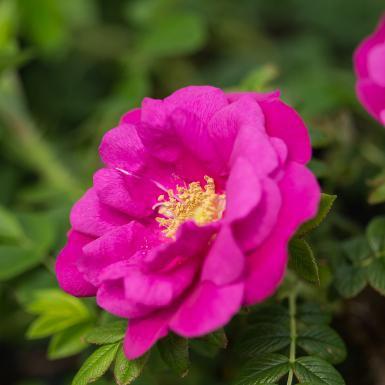 FE Lotty's Love Rose