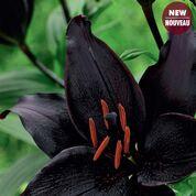 Secret Kiss Asiatic Lily