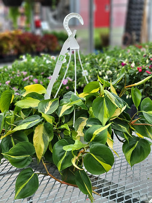 Brazil Philodendron