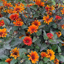Bleeding Hearts Fall Sunflower