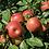 Thumbnail: Honecrisp/Odyssey Apple Combo
