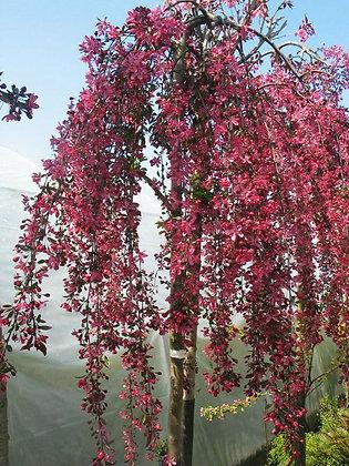 Royal Beauty Rosybloom Crabapple