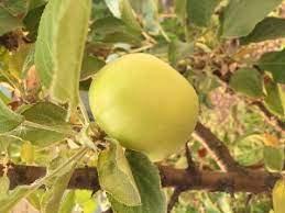 Strathcona Gold Apple Tree