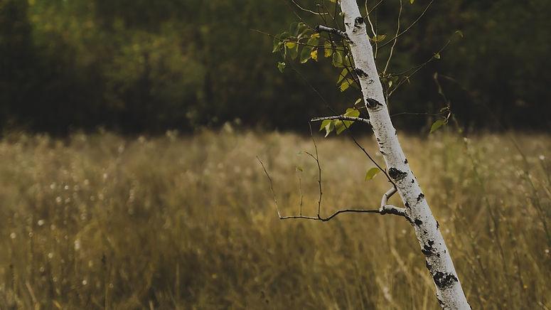 Birch tree in a meadow