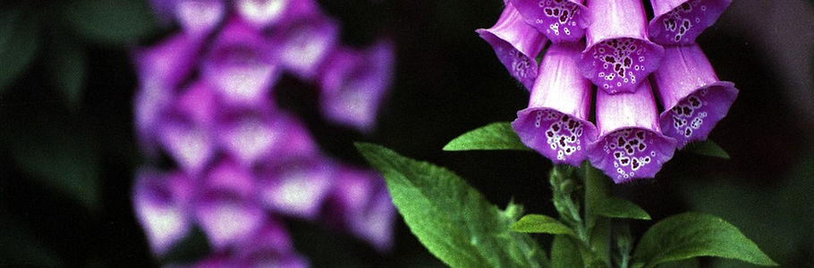 digitalis-purpurea-1279574_960_720.jpg