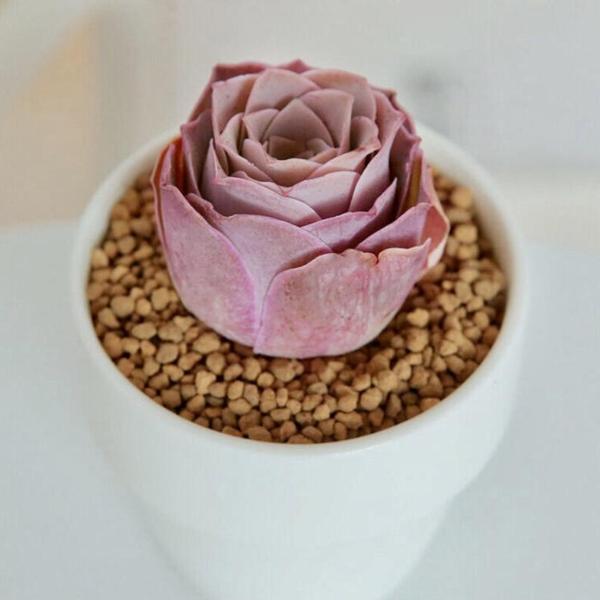 [seasonal] rose succulent
