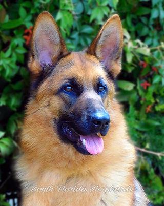 Imported German Shepherd Menta OD Kalicanina