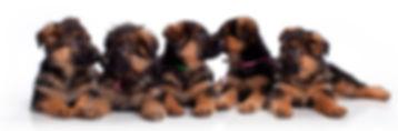 German Shepherds R us, German Shepherd puppies Miami