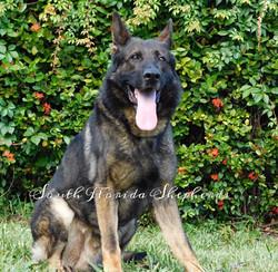 Ares Rebelling sable German Shepherd _0216