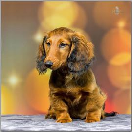 Buddy - Dachshund breeder