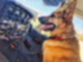 German Shepherd on a airplane