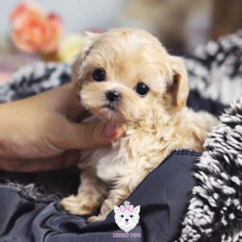 Poodle - male - $7,900