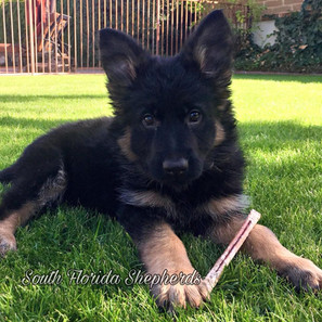 Things To Consider Before Buying Purebred German Shepherds