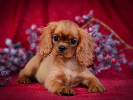 King Charles Cavalier Puppy Training for New Pet Parents