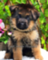 Germn Shepherd puppy for sale