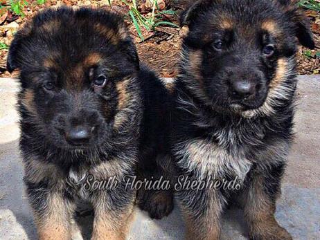 Grab The Chance To Buy German Shepherd Puppies For Sale