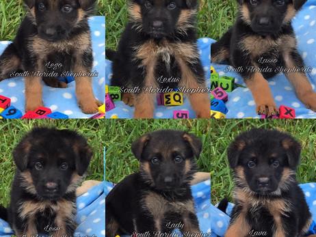 Let Us Help You Get Champion Bloodline German Shepherd Puppies
