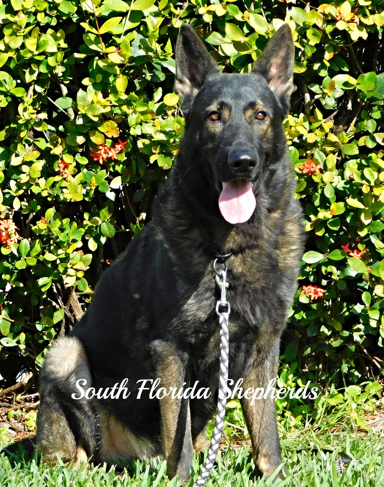 Jax Vom Icer German Shepherd2523_edited