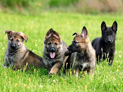 Happy German Shepherd puppies for sale