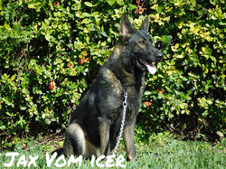 Jax vom Icer AKC sable German Shepherd_0092