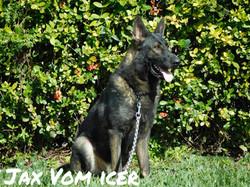 Jax vom Icer AKC sable German Shepherd_0092