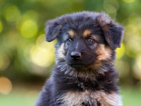 German Shepherd Puppies for Sale in South Florida: The Advantages Of Owning One