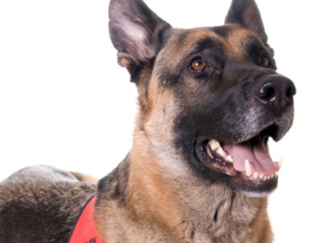 Service, Emotional Support, PTSD, Therapy Dogs: What's the Difference?